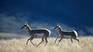 Превью обои бег, антилопы, трава, степь