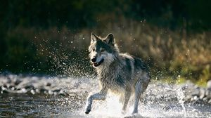 Превью обои бег, волк, брызги