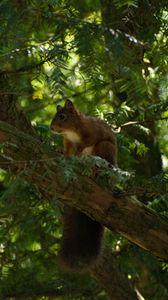 Превью обои белка, животное, дерево, дикая природа