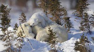 Превью обои белые медведи, семья, снег, трава, забота