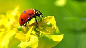 Превью обои божья коровка, цветок, насекомое, макро