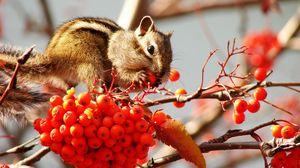 Превью обои бурундук, гроздь, ветки, ягоды, рябина, лист
