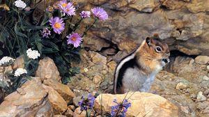 Превью обои бурундук, камни, цветы, полосы, сидеть