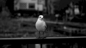 Превью обои чайка, птица, чб, размытость