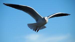 Превью обои чайка, птица, небо, полет