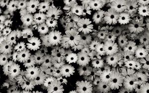 Превью обои чб, цветы, серый, ромашки