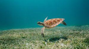 Превью обои черепаха, море, вода, дно, водоросли