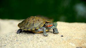 Превью обои черепаха, панцирь, лапы, голова