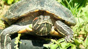 Превью обои черепаха, природа, зелень