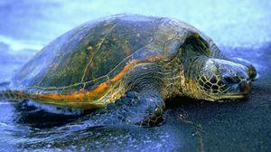 Превью обои черепаха, вода, берег, панцирь