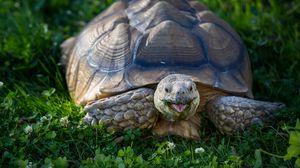 Превью обои черепаха, клевер, панцирь