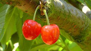 Превью обои черешня, вишня, ветка, ягода, дерево