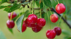 Превью обои черешня, ягода, ветка, спелый