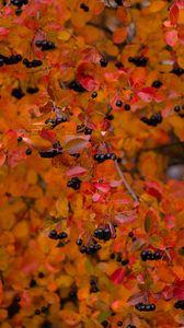 Превью обои черноплодная рябина, ягоды, ветка, листья, осень, макро