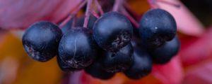 Превью обои черноплодная рябина, ягоды, ветки, листья, макро, осень