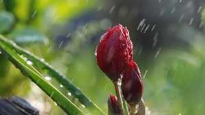 Превью обои цветы, дождь, бутоны, зелень, природа