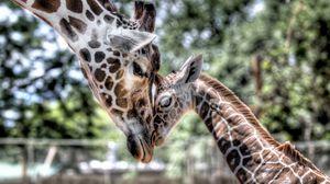 Превью обои детеныш, жираф, малыш, мама, нежность, hdr