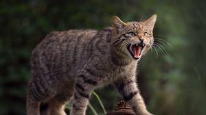 Превью обои дикая кошка, кошка, клыки, дикая природа