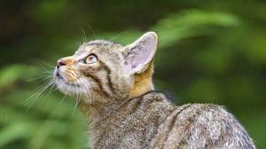 Превью обои дикая кошка, взгляд, животное, дерево, дикая природа