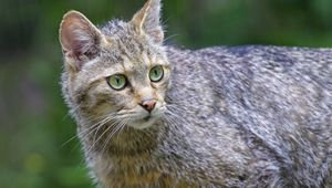 Превью обои дикая кошка, животное, взгляд