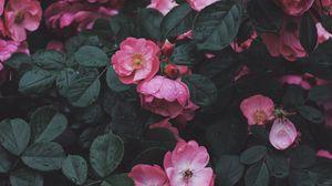 Превью обои дикая роза, розовый, куст, цветение