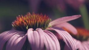 Превью обои эхинацея, цветок, лепестки, макро