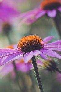 Превью обои эхинацея, цветок, растение, лепестки, макро