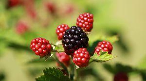 Превью обои ежевика, ягоды, плоды, макро