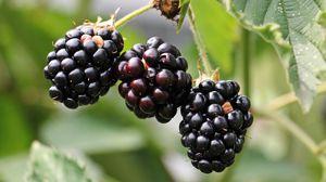 Превью обои ежевика, ягоды, ветка, лепестки