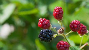 Превью обои ежевика, ягоды, ветка, макро