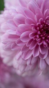 Превью обои георгин, цветок, лепестки, капли, розовый