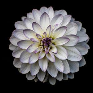 Превью обои георгин, цветок, лепестки, белый, макро