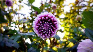Превью обои георгина, цветок, фиолетовый, цветение