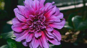 Превью обои георгина, цветок, фиолетовый, крупным планом
