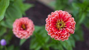 Превью обои георгина, цветок, лепестки, размытость, розовый, крупным планом