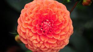 Превью обои георгина, цветок, лепестки, розовый, макро