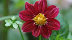 Превью обои георгина, цветок, лепестки, бутоны