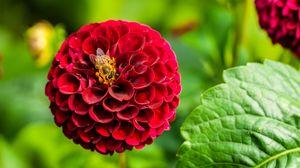 Превью обои георгина, цветок, пчела, красный, макро, цветение