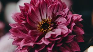 Превью обои георгина, цветок, розовый, цветение, крупный план