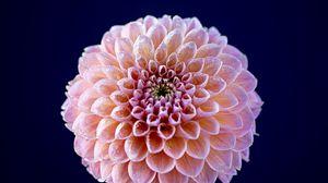 Превью обои георгина, цветок, розовый, мокрый, макро