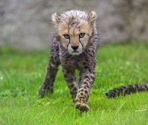 Превью обои гепард, детеныш, животное, хищник, мокрый