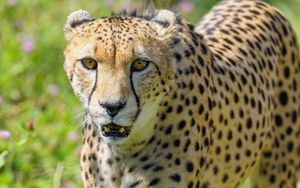 Превью обои гепард, хищник, большая кошка, дикая природа