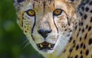 Превью обои гепард, хищник, взгляд, клыки