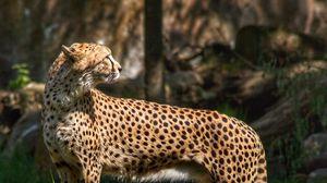 Превью обои гепард, хищник, животное, трава, дикая природа