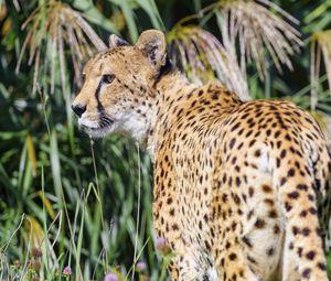 Превью обои гепард, хищник, животное, взгляд, трава, дикая природа
