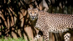 Превью обои гепард, взгляд, хищник, животное