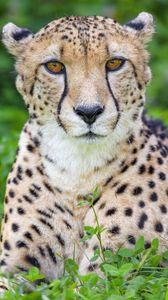 Превью обои гепард, животное, большая кошка, хищник, дикий