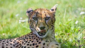 Превью обои гепард, животное, хищник, большая кошка, высунутый язык