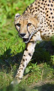 Превью обои гепард, животное, хищник, взгляд, дикая природа