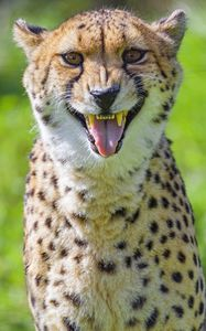 Превью обои гепард, животное, клыки, хищник